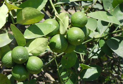 Citrolim's roots in the farming industry help the company produce some of the best Mexican key limes in the region.