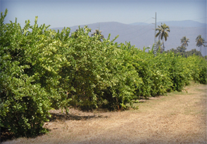 Citrolim buys limes from a number of local farmers, but the company also has its own Mexican key lime orchard. This not only provides a measure of integration, but also helps Citrolim keep its fingers on the pulse of the local lime growing community and the factors affecting the current and future crops.